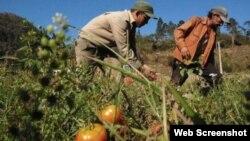 Una imagen de agricultores en Cuba.