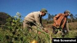 Cuba agricultura devastada