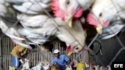 Gripe aviar H151