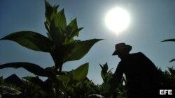 Un campesino cubano cosecha hojas de tabaco en la occidental provincia de Pinar del Río, cuna del mejor tabaco del mundo.