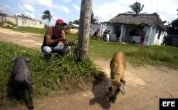Un hombre amarra sus dos puercos a un poste en La Coloma, Pinar del Río, Cuba.