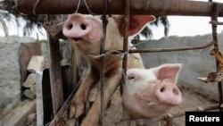 Productores de carne de cerdo en Cuba acusados de cohecho y enriquecimiento