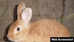 Cria de conejos. Ciego de Avila.