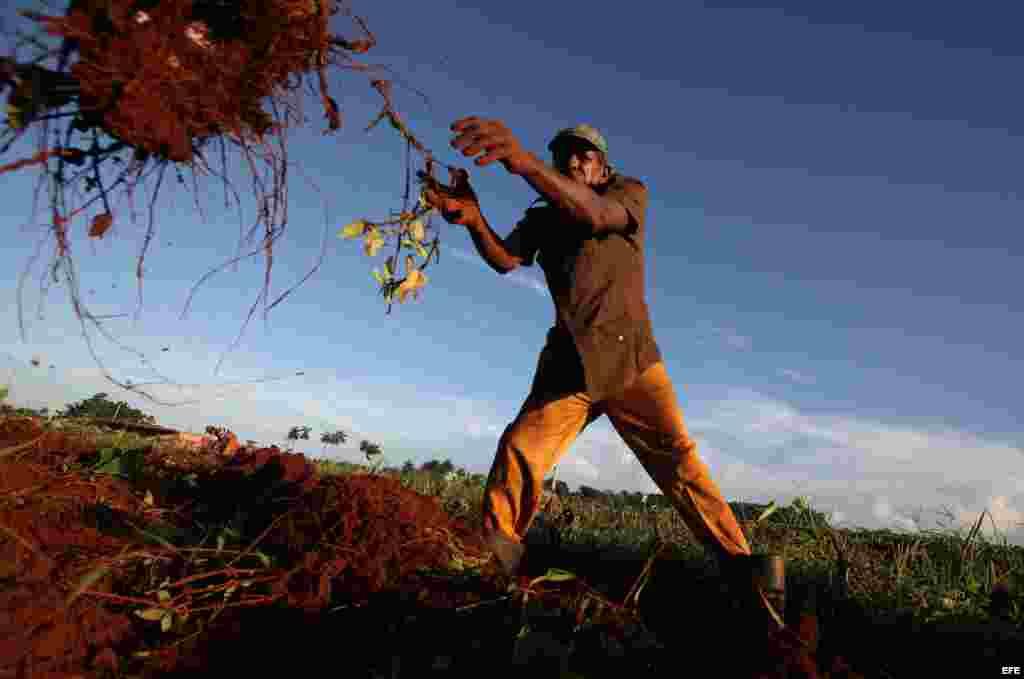 Los campesinos privados producen más leche, viandas y hortalizas, que el sector estatal y cooperativo juntos.