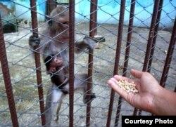 Una mona y su crío son alimentados por un vecino con granos de chícharo.