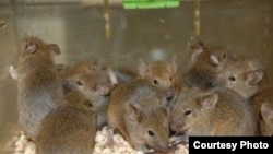 Ratones.
