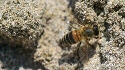 La abeja de Naples