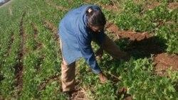 Se desploma producción de frijoles en Cuba