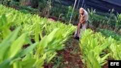 Cuba, agricultura.