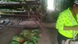 Video muestra pésimas condiciones del tabaco en San Juan y Martínez