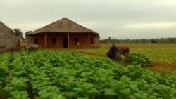 El Niño está destrozando la cosecha de tabaco en Cuba
